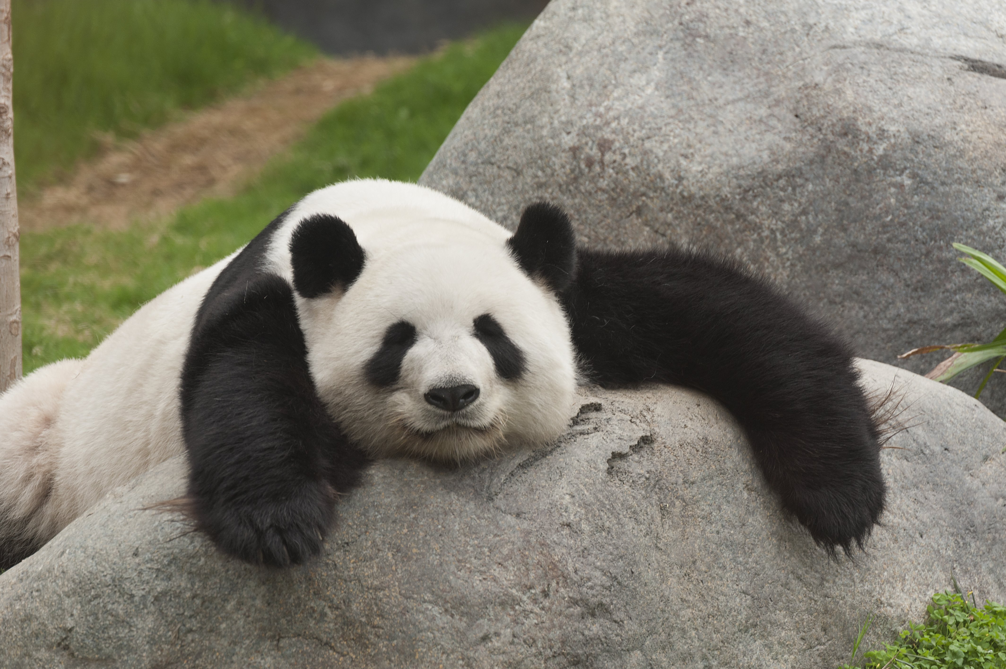 the characteristics of the giant panda a chinese species